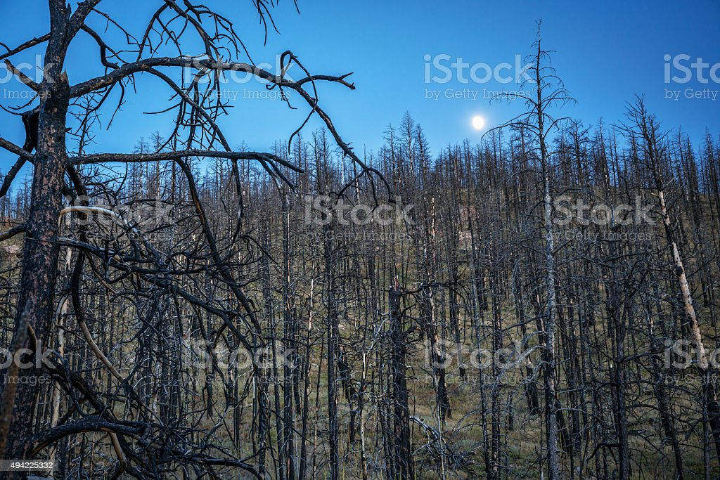 Pine trees burned by wildfire stock photo
