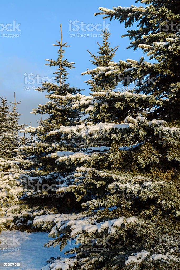 Pine trees covered in snow. stock photo