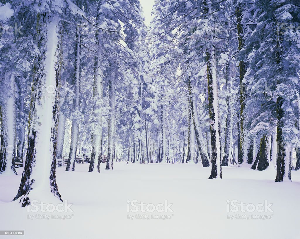 Pine trees covered in winter snow stock photo