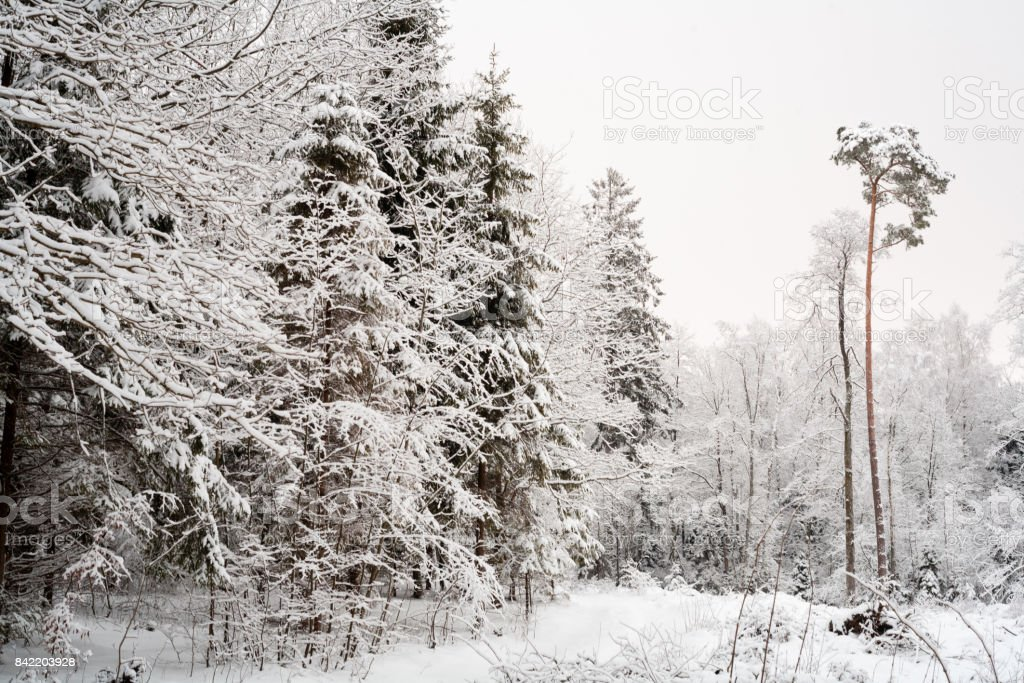 Pine trees covered with snow on frosty day. Beautiful winter panorama. Road through frozen forest with snow stock photo