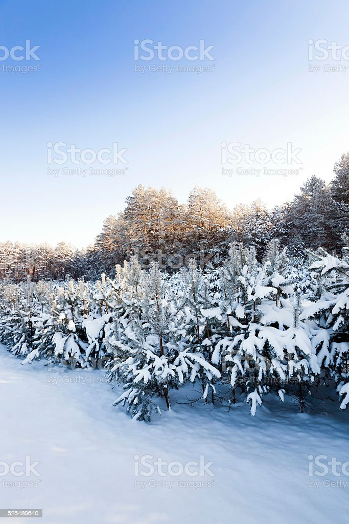 pine trees covered with snow stock photo