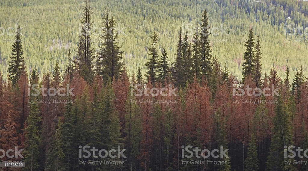 Pine trees, dead and red, killed by beetle attack stock photo