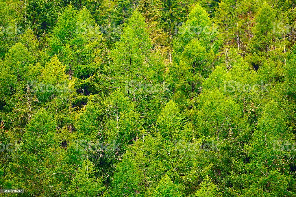 Pine trees green alpine woods, forest pattern background - Switzerland stock photo