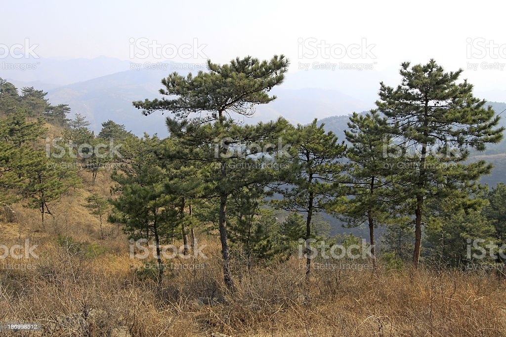 pine trees in a hillside, north china royalty-free stock photo
