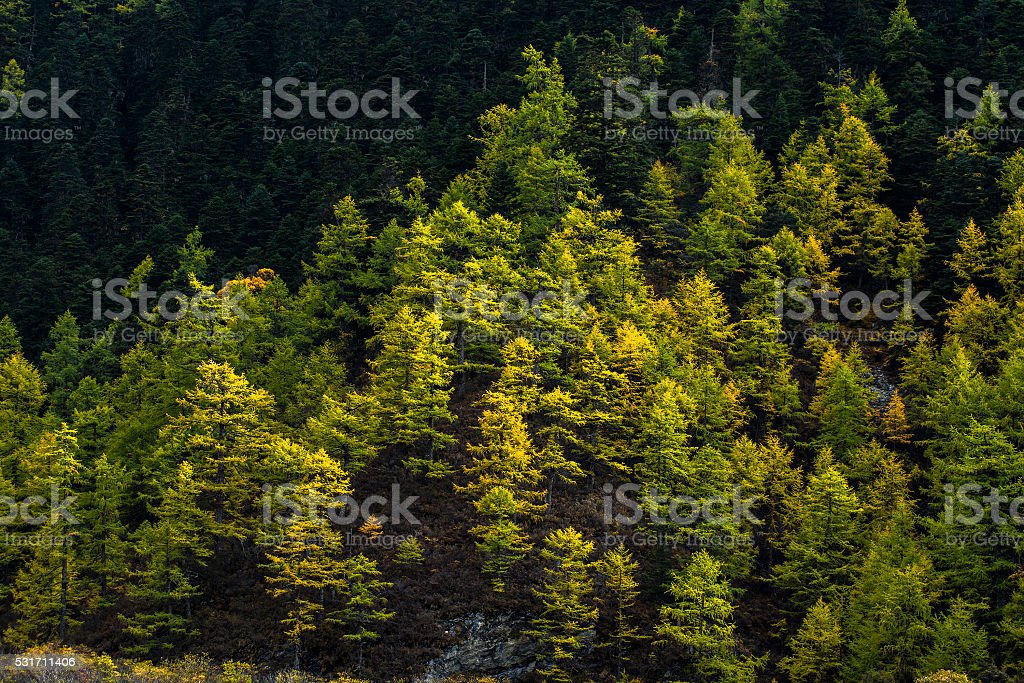 Pine trees in autumn stock photo