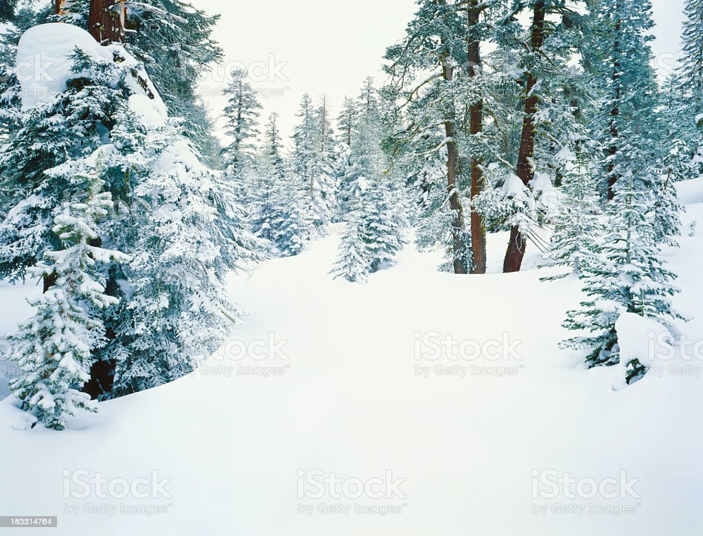 Pine trees in deep white snow during winter in California royalty-free stock photo