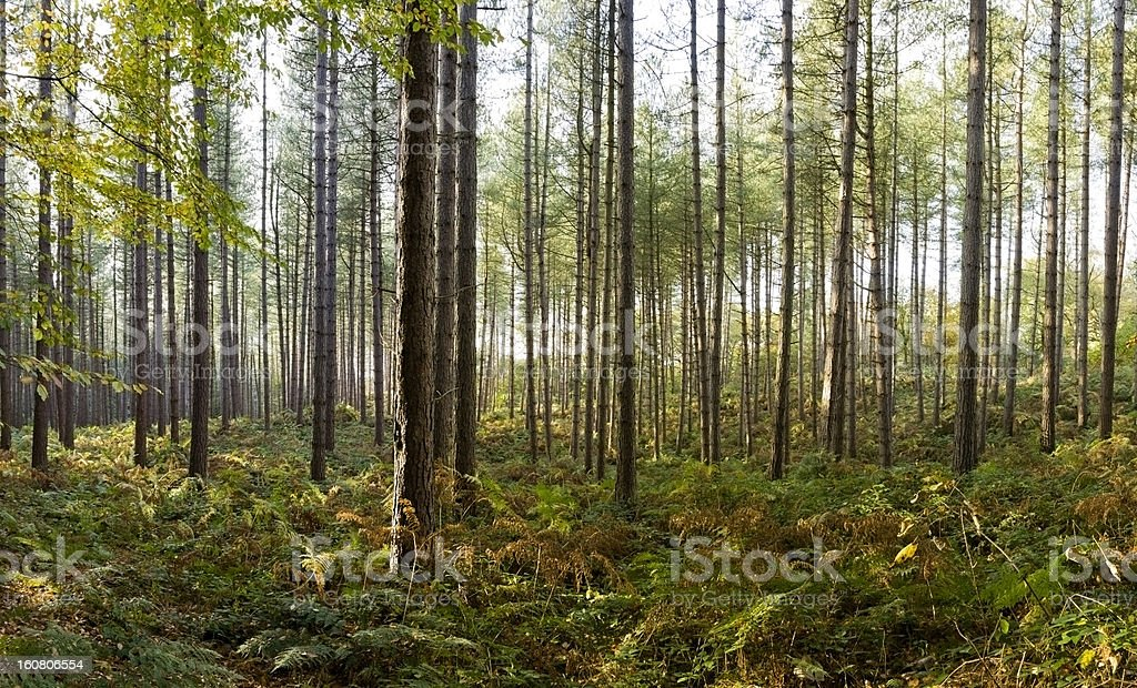 Pine trees in Delamere forest, Cheshire royalty-free stock photo