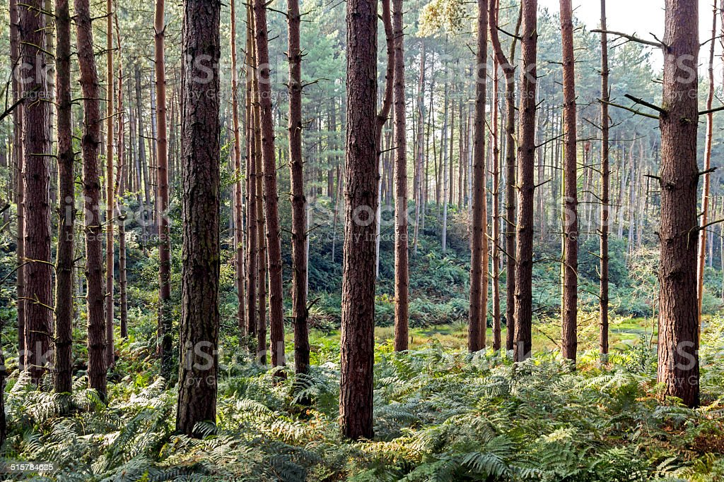 Pine Trees in Delamere Forest Cheshire stock photo
