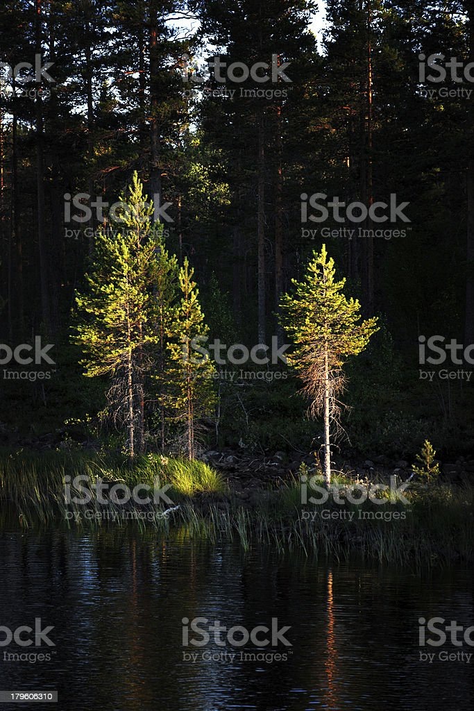 pine trees in evening light royalty-free stock photo