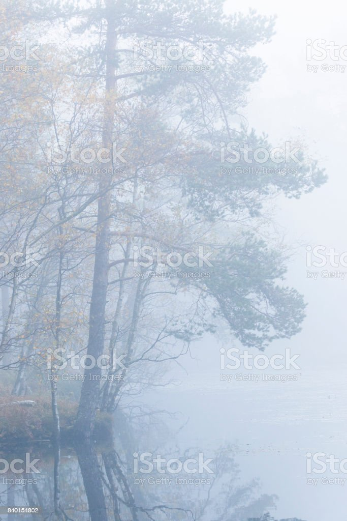 Pine trees in fog on a lake stock photo
