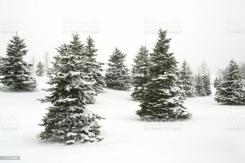 Pine Trees in Snow 2 royalty-free stock photo