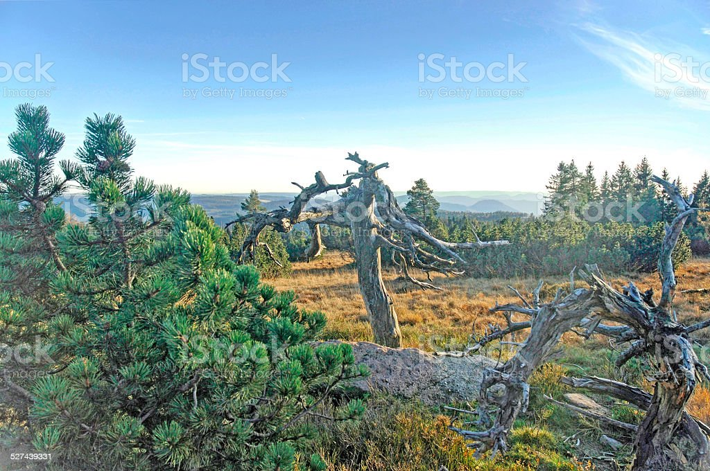 Pine trees in the Black Forest National Park stock photo
