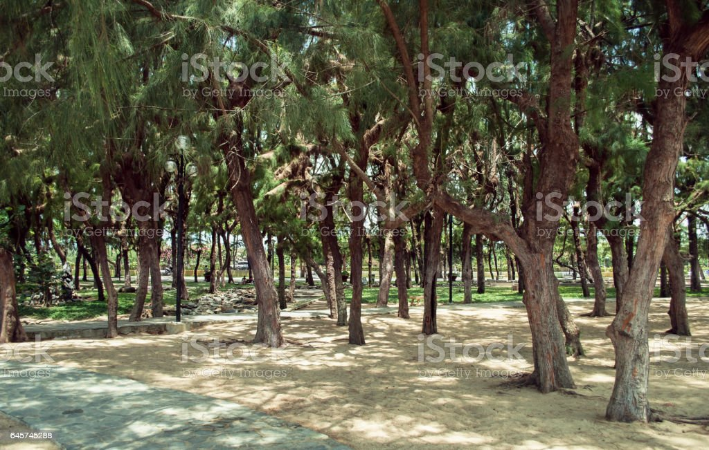 Pine trees in the central park of Nha Trang Vietnam stock photo