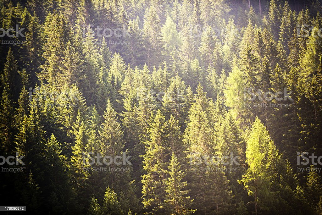 Pine trees in the Dolomites royalty-free stock photo