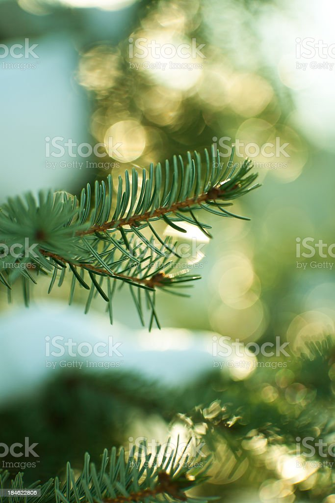 Pine trees in the middle of winter time for Christmas stock photo