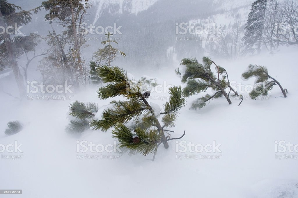 Pine trees in the wind royalty-free stock photo