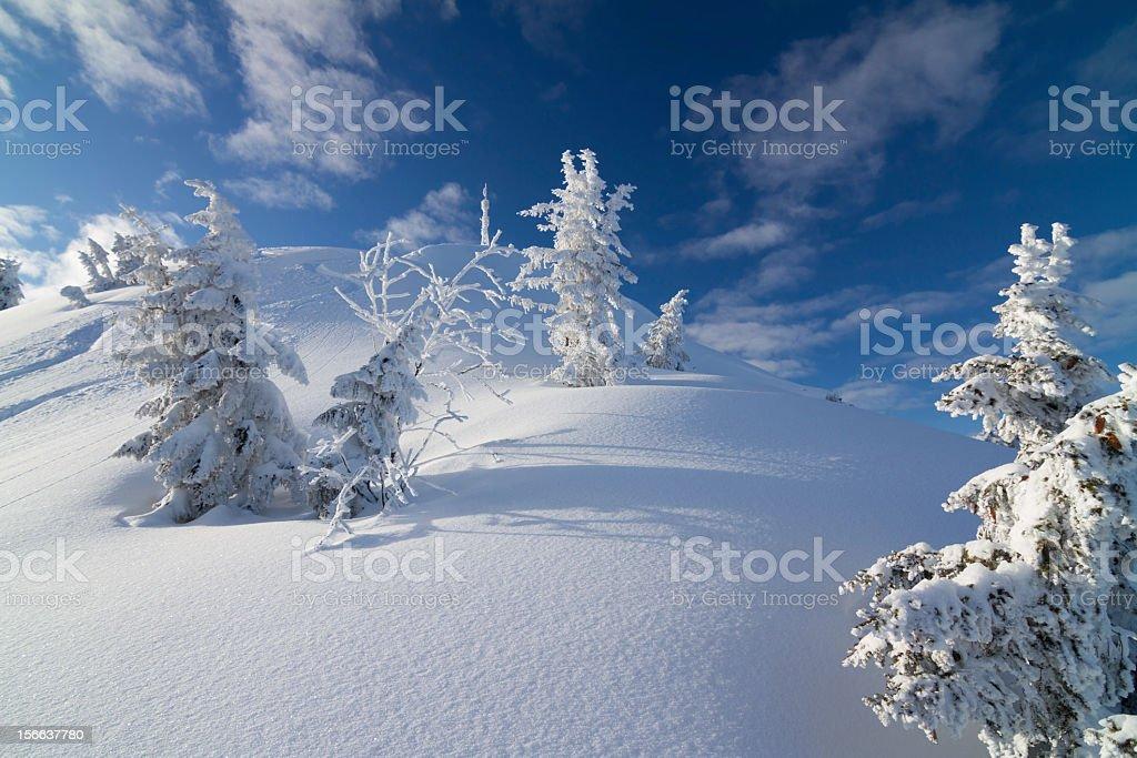 pine trees in winter stock photo