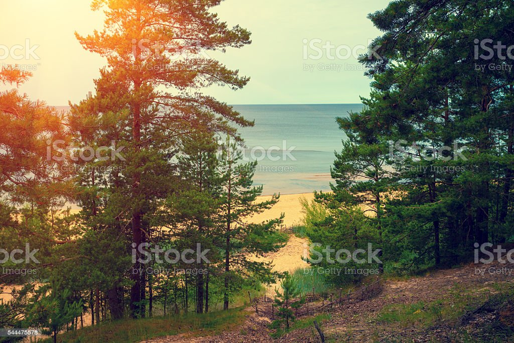 Pine trees near sea stock photo