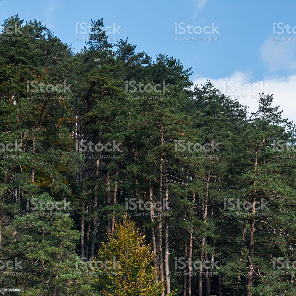 pine trees on a blue background royalty-free stock photo