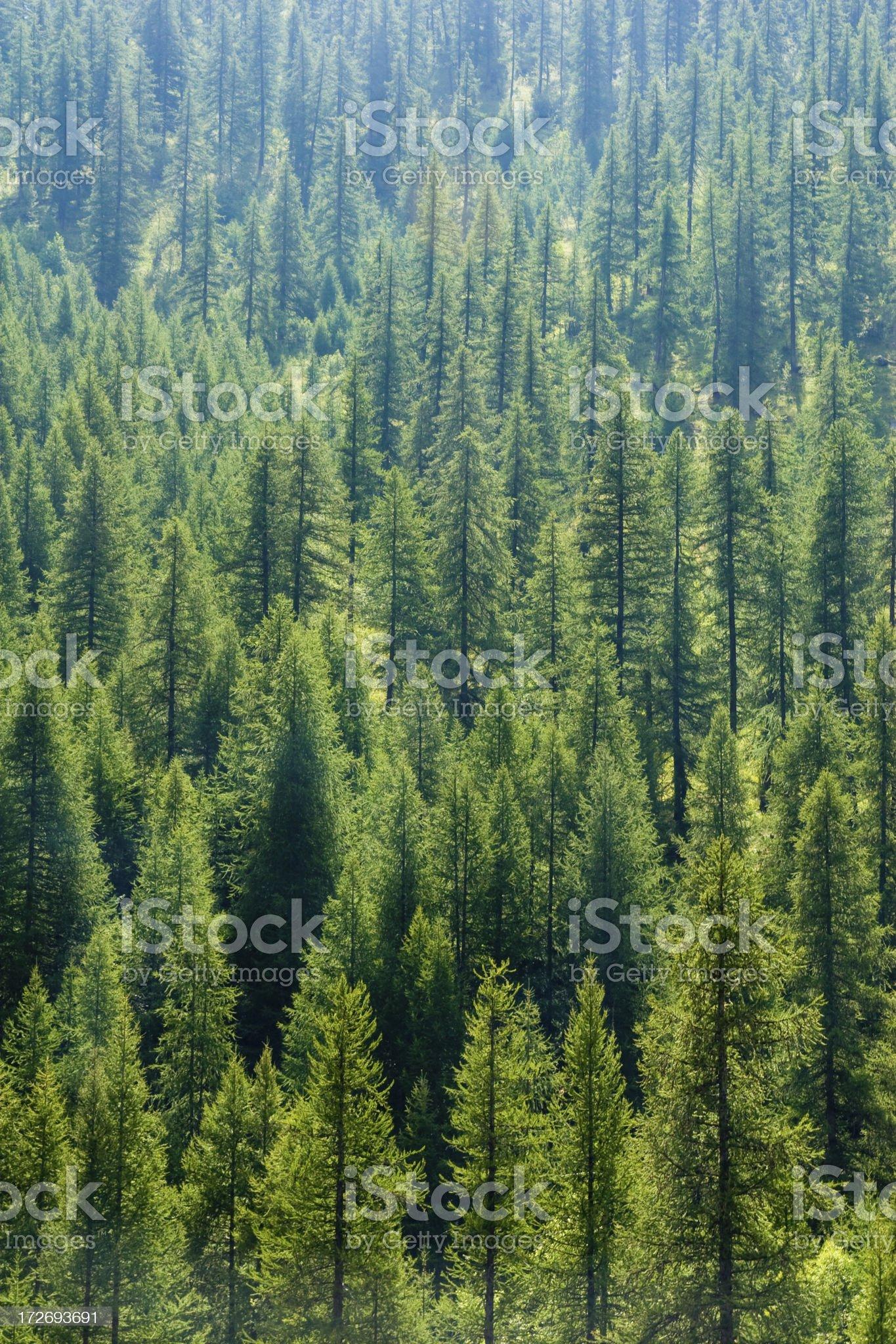 Pine trees on mountain side royalty-free stock photo