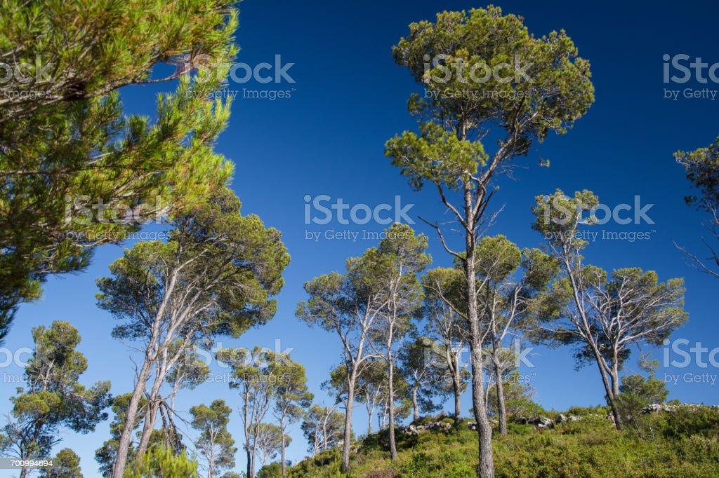 Pine trees on the Costa Brava stock photo