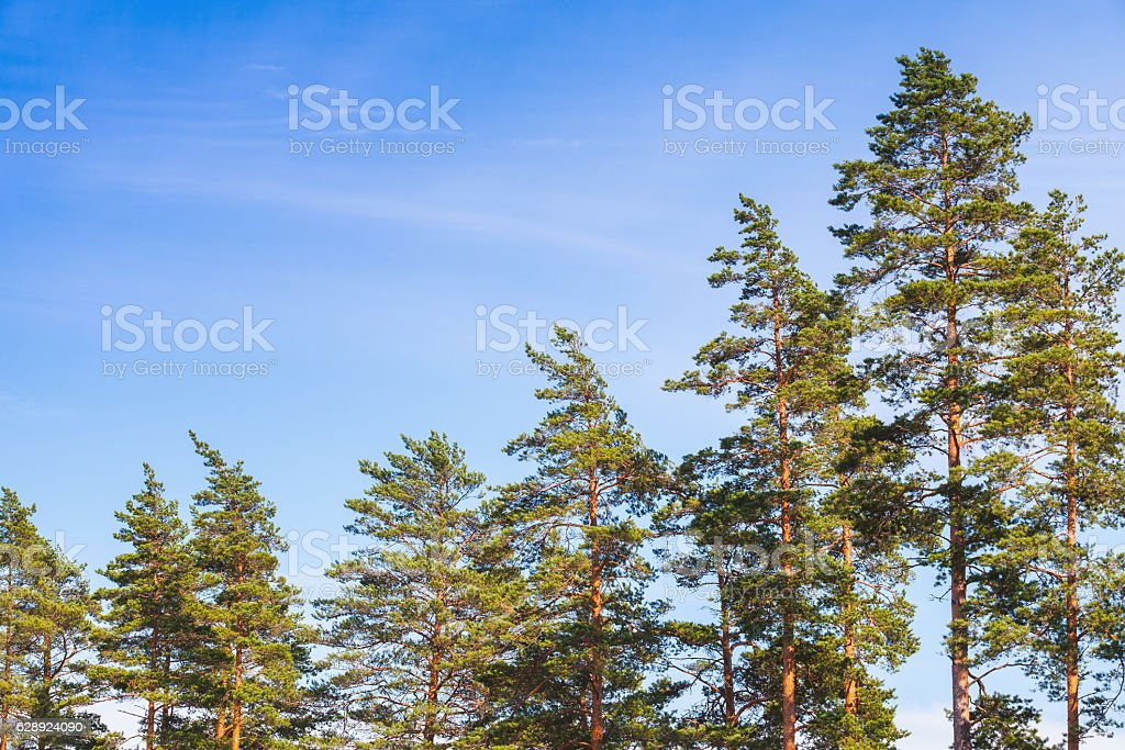 Pine trees over blue sky background in summer stock photo