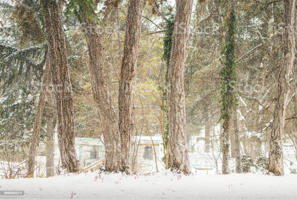 Pine trees partially covered with ivy during snowfall. stock photo