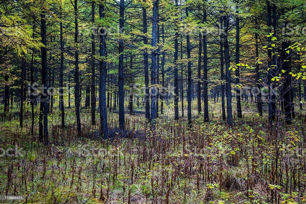 pine trees royalty-free stock photo