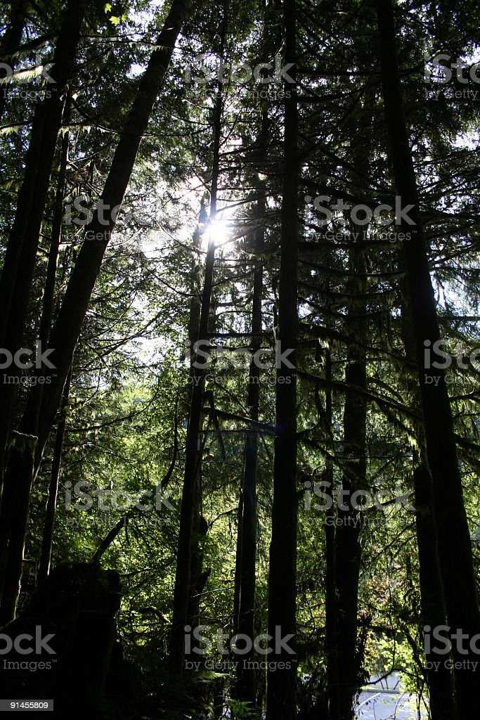 Pine Trees Silhouette royalty-free stock photo