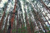 Pine trees trunks against sky