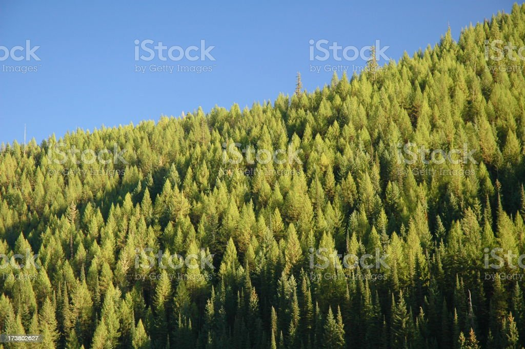 Pine Trees with Bright Blue Sky royalty-free stock photo