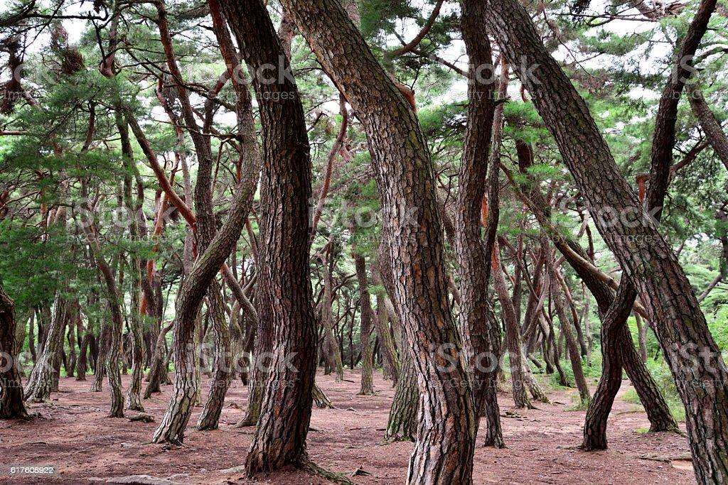 Pine Trees With Sunrise stock photo