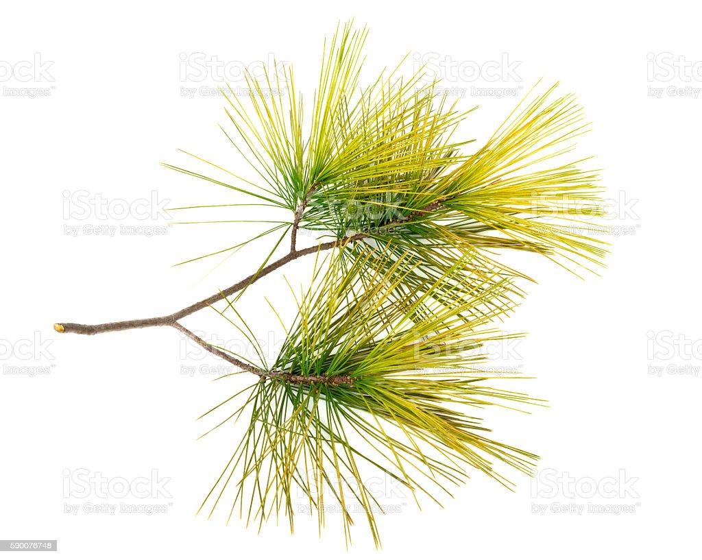 Pine twig on white background stock photo