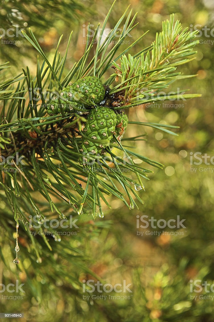 Pine twig with cones and needles royalty-free stock photo