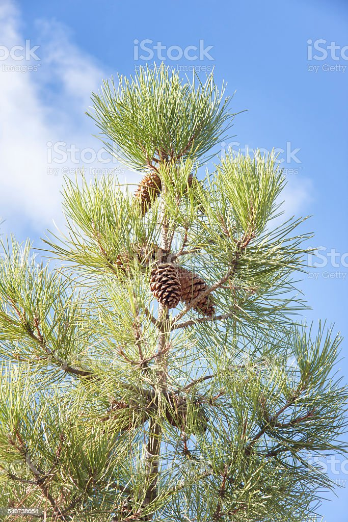 pino bajo el cielo azul stock photo