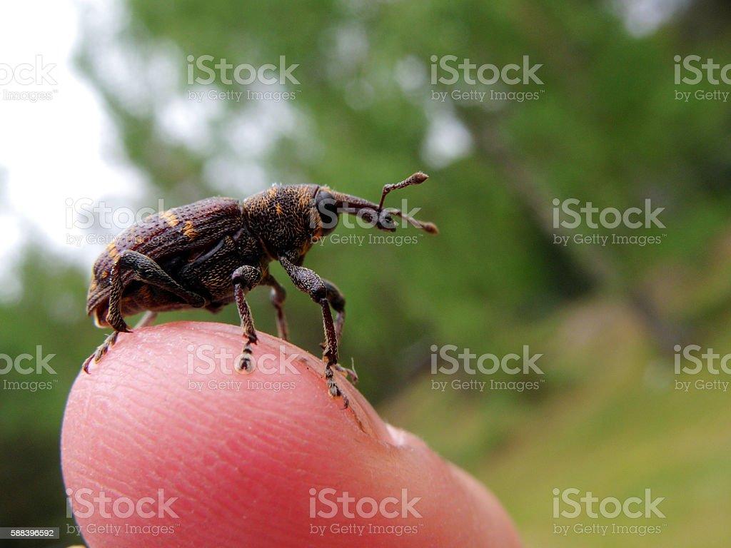 pine weevil stock photo