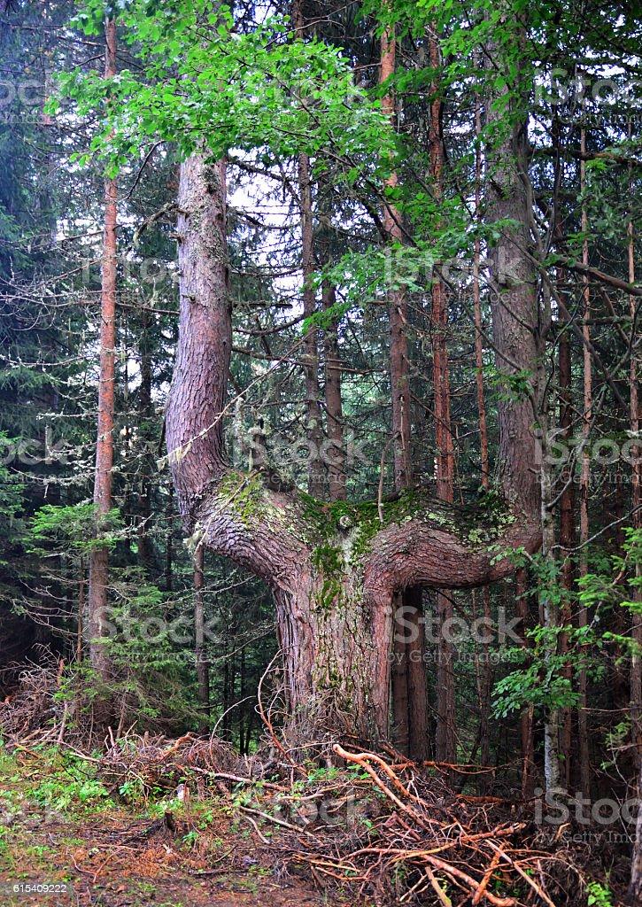 Pine with strange shape stock photo