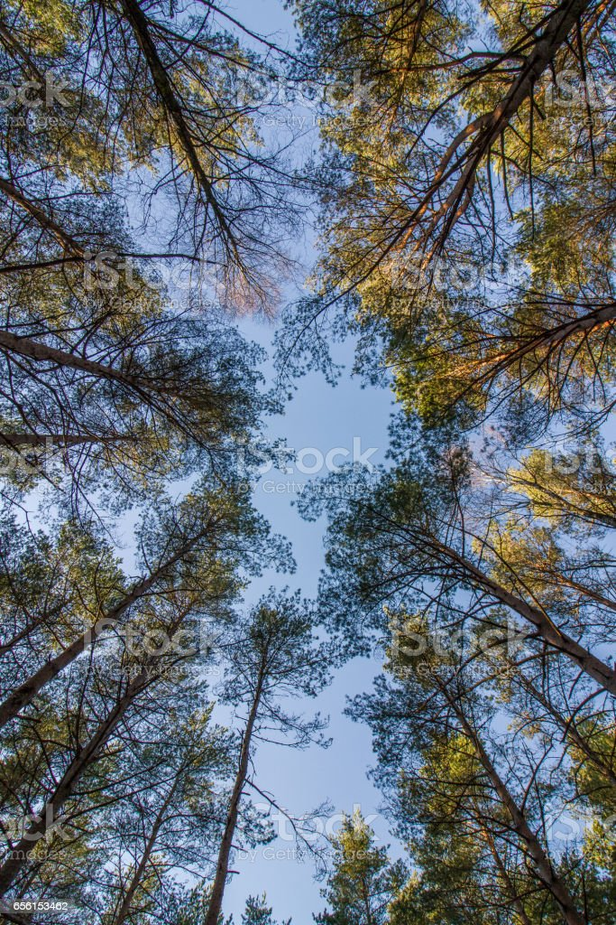 Pine wood tree tops and blue sky at Furulunden stock photo