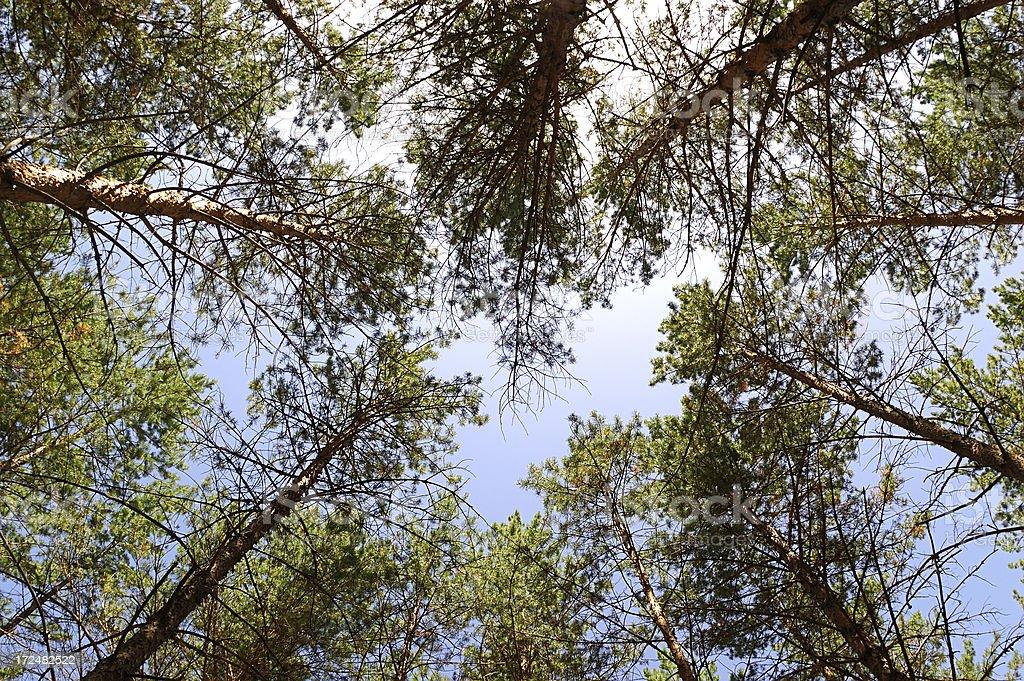 pine woods stock photo