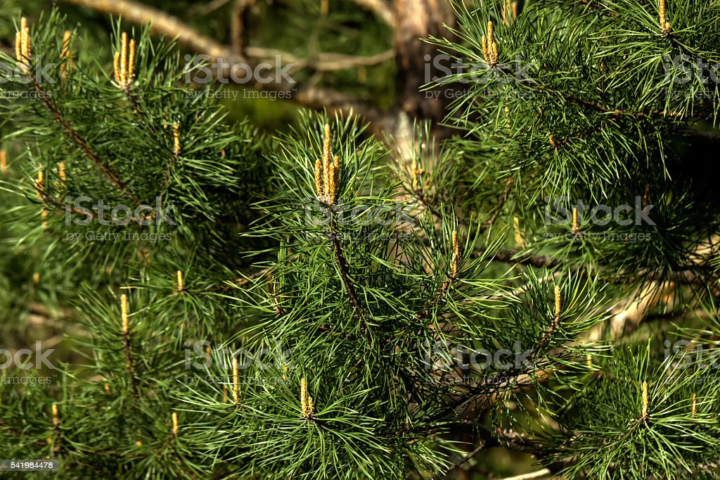 Pine. Young sprouts. stock photo