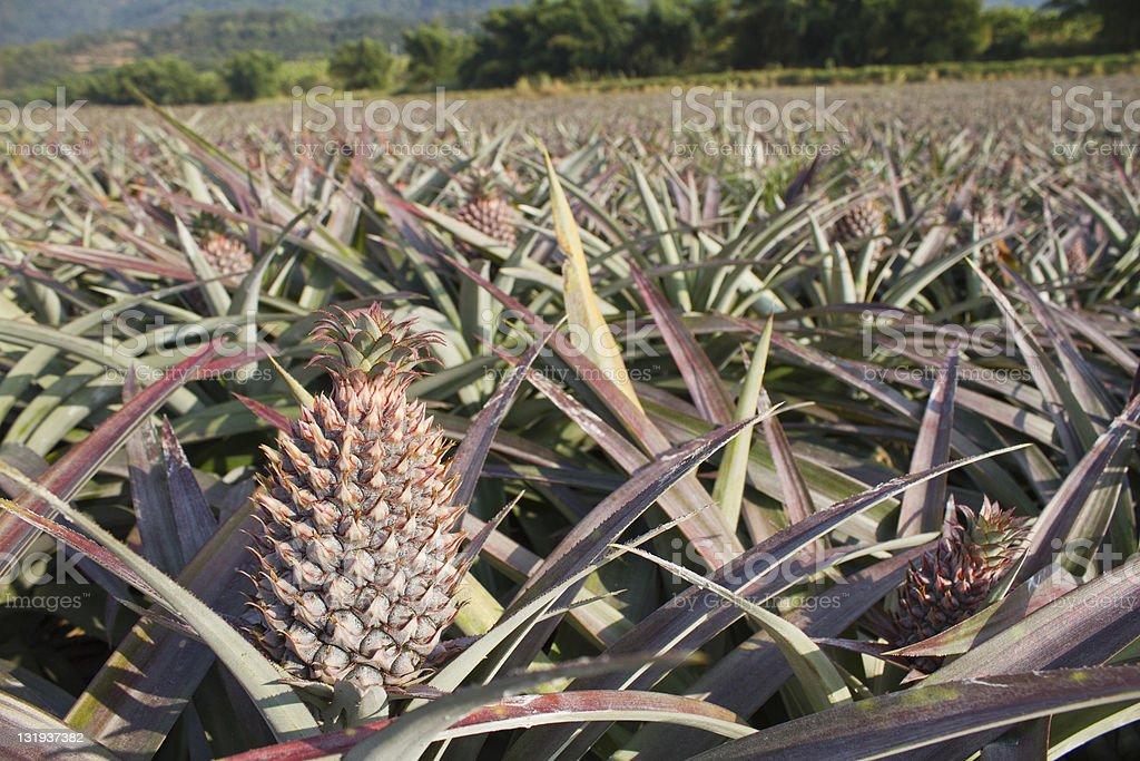 Pineapple field royalty-free stock photo