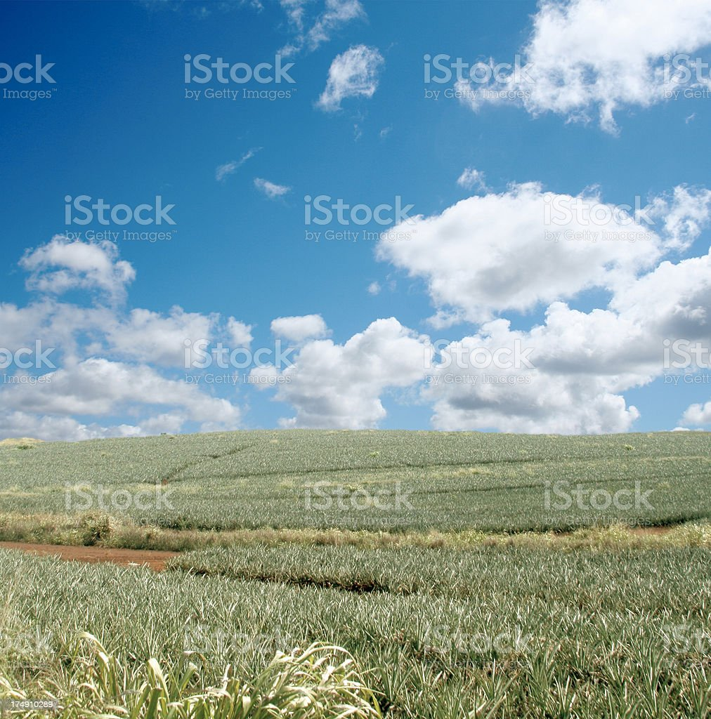 Pineapple fields royalty-free stock photo