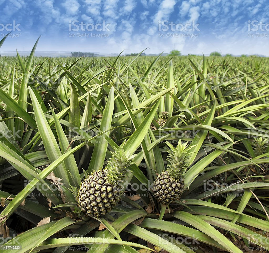 Pineapple fruit on the bush stock photo