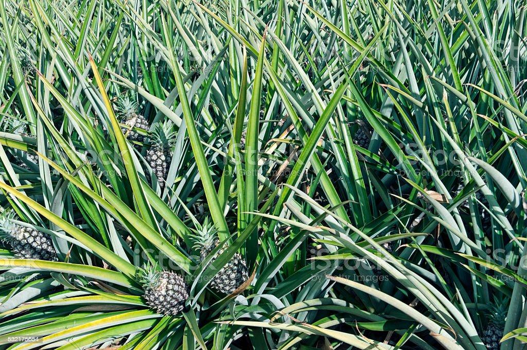 Pineapple growing in field on island of Oahu HI stock photo
