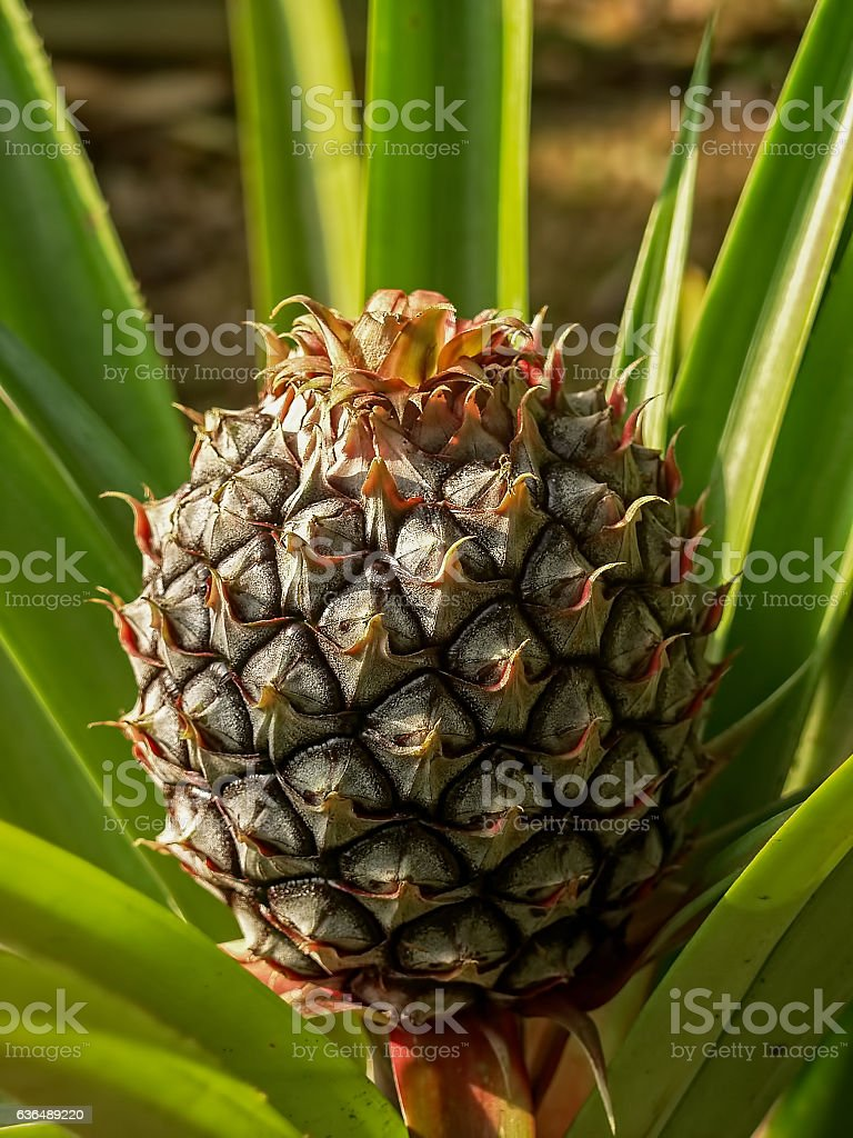 Pineapple growing. stock photo