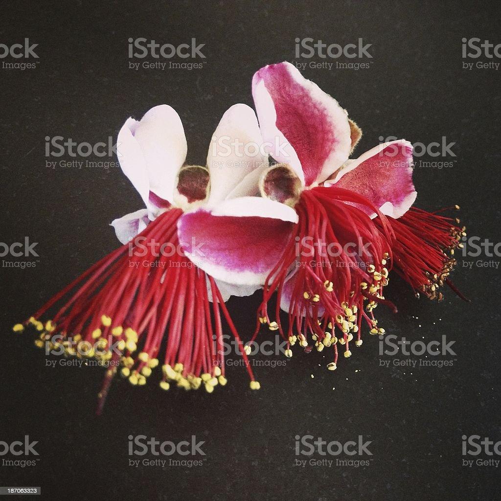 Pineapple Guava Flowers stock photo