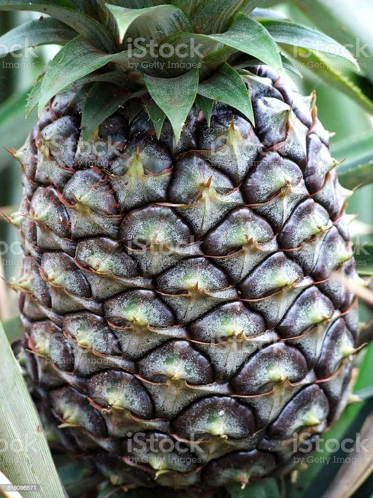 Pineapple in Hawaii stock photo