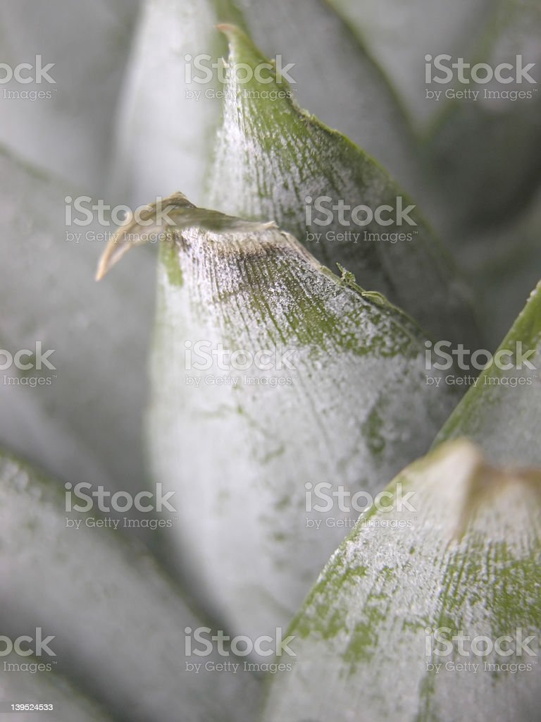 Pineapple leaves royalty-free stock photo