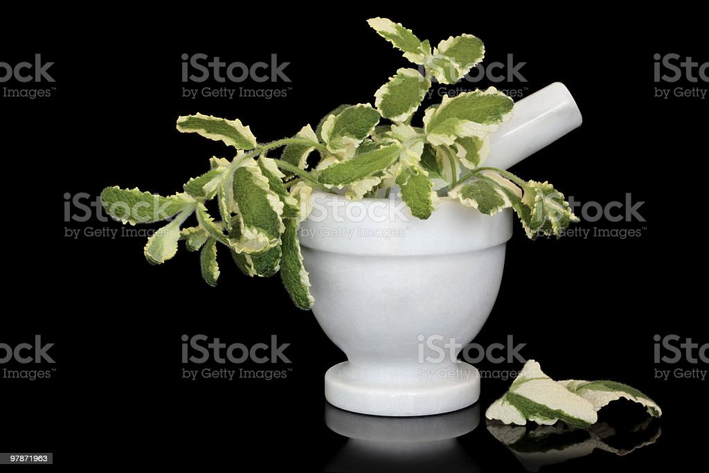Pineapple Mint Herb Leaves stock photo