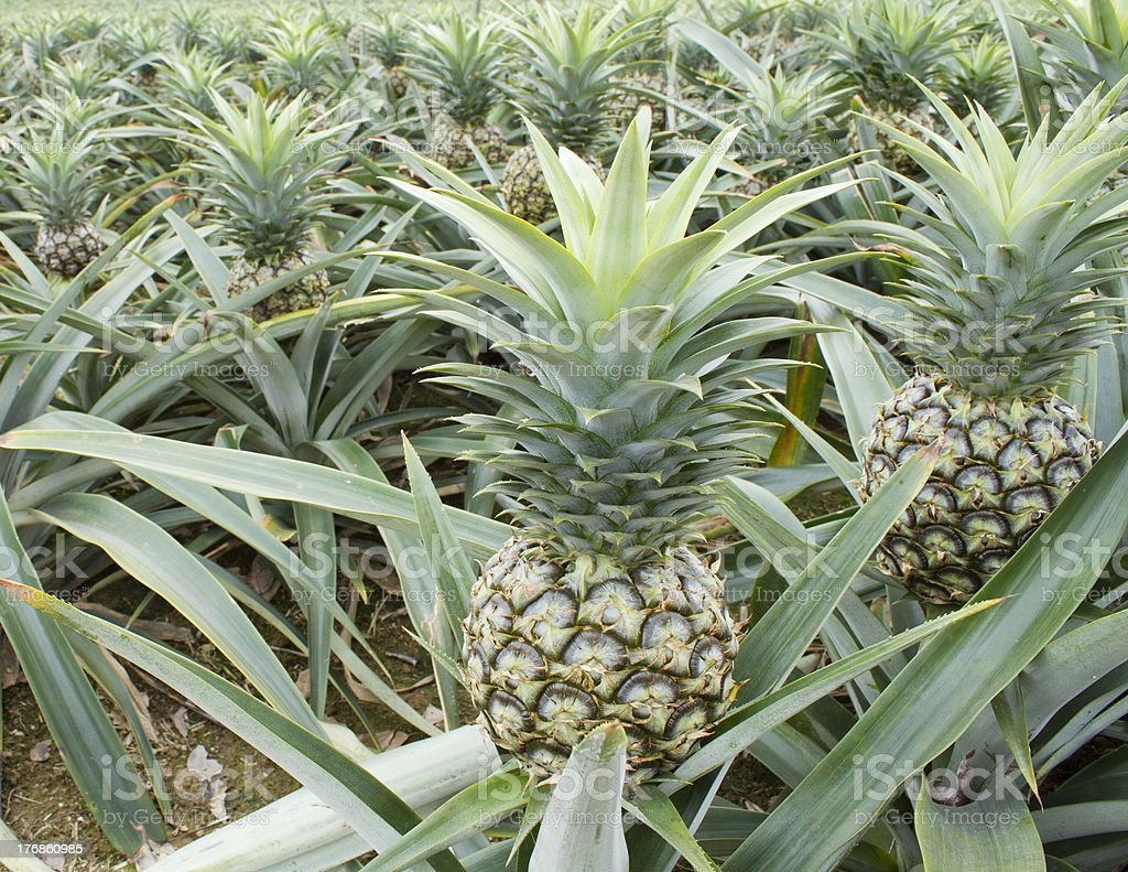 Pineapple Plant Field In Tropical Fruit Farm Royalty Free Stock Photo